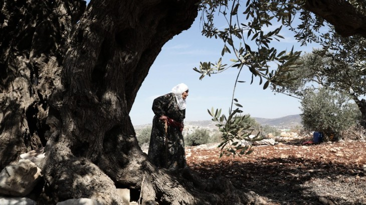 The Olive tree, the symbol of Palestine.